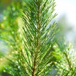 Stock Photo: Branch of a pinetree