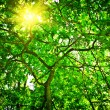 Crone of the tree with sun — Stockfoto