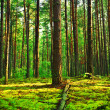 Stock Photo: Evening forest