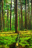 Evening forest — Stock Photo