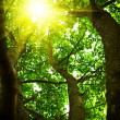 Royalty-Free Stock Photo: Crone of a tree with the looking sun