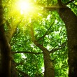 Crone of a tree with the looking sun - Stock Photo