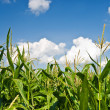 Foliage of corn — Stock Photo