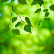 Green branch — Stock Photo #2464752