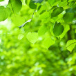 Green branch with leaves - Foto Stock