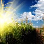 Sunrise on corn field — Stock Photo