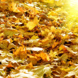 The fallen yellow foliage with sun — Stock Photo