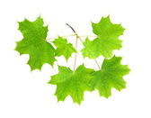 Branch of a maple with leaves — Stock Photo
