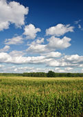 Corn field with a forest and the sky — Stock Photo
