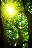 Crone of a tree with the looking sun — Stock Photo