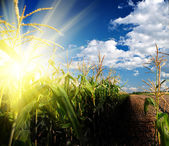Sunrise on corn field — Stock Photo