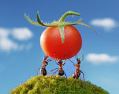 Ant red harvest — Stock Photo