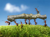 Ants carry log with chief on it — Stock Photo