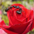 Royalty-Free Stock Photo: Garden ants kissing on rose