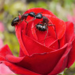 Garden ants kissing on rose — Stock Photo #1012778