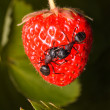 Stock Photo: Antberry