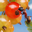 Ant and red currant — Stock Photo