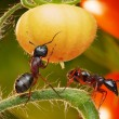Royalty-Free Stock Photo: Ants in tomato jungles