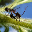 Ants knockout — Stock Photo #1016188