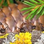 Ants chorus — Stock Photo
