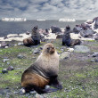 Fur seal - antarctic macho — Foto Stock