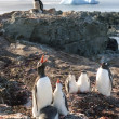 Penguins singing lessions — Stock Photo
