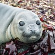 Elephant seal's eyes — Stock Photo