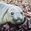 Stock Photo: Elephant seal's eyes