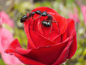 Garden ants kissing on rose — Stock Photo