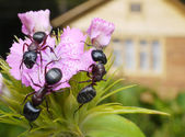 Bouquet of ants — Stock Photo