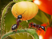 Ants in tomato jungles — Stock Photo