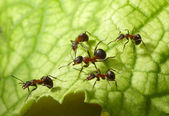 Of ants — Stock Photo