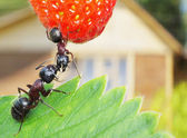 Sweet summer of garden ants — Stock Photo