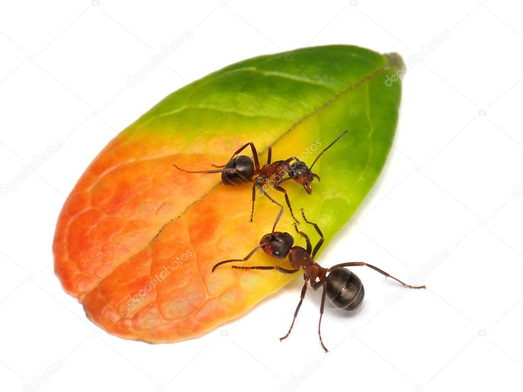 Private property, ant guarding leaf of cowberry  Stock Photo #1016155