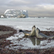 Talk of elephant seals — Stockfoto