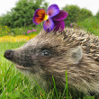Smiling flower thief hedgehog - Stock Photo