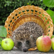 Harvest of hedgehog - Stock Photo