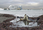 Talk of elephant seals — Stock Photo