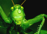 Tear of beauty, grasshopper — Stock Photo
