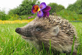 Smiling flower thief hedgehog — Стоковое фото