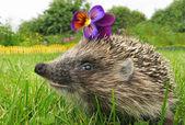 Smiling flower thief hedgehog — Stock Photo