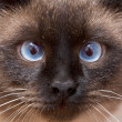 Muzzle of the Siamese cat - Stock Photo