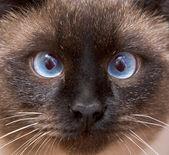 Muzzle of the Siamese cat — Stock Photo
