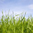 Green grass on a background of the sky — Stock Photo #1786107