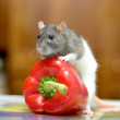 Rat with pepper - Stock Photo
