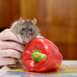 Rat and pepper - Stock Photo