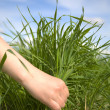 Hand tearing a grass - Stock Photo