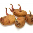 Royalty-Free Stock Photo: Four progrown tubers of a potato