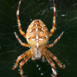 Stock Photo: Spider in the web