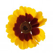 Yellow flower on white — Stock Photo